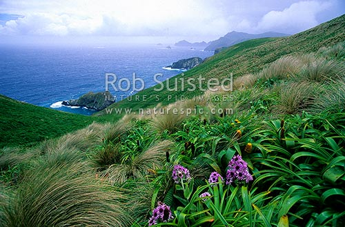 Pleurophyllum speciosum in flower, above Northwest Bay, Campbell Island, NZ Sub Antarctic District, NZ Sub Antarctic Region, New Zealand (NZ) stock photo.
