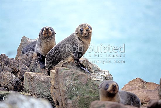 New Zealand Fur seal pups (Arctocephalus forsteri), Catlins, New Zealand (NZ) stock photo.