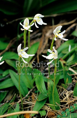 Odd leaved orchids (Aporostylis bifolia) - bushline altitude; January, Fiordland National Park, New Zealand (NZ) stock photo.
