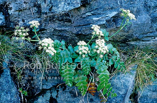 Broad-leaved carrot (Gingidium montannum) in flower, Routeburn track; January, Mount Aspiring National Park, New Zealand (NZ) stock photo.
