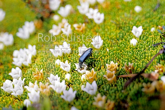 Alpine cushion plant (Donatia novae-zelandiae) with a small beetle visiting the flowers- January, Mount Aspiring National Park, New Zealand (NZ) stock photo.