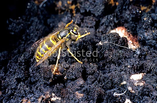 Introduced pest Common Wasp (Vespula vulgaris) stealing Honeydew from Sooty Beech Scale (Ultracoelostoma assimilae) in beech forest, Mount Richmond Forest Park, New Zealand (NZ) stock photo.