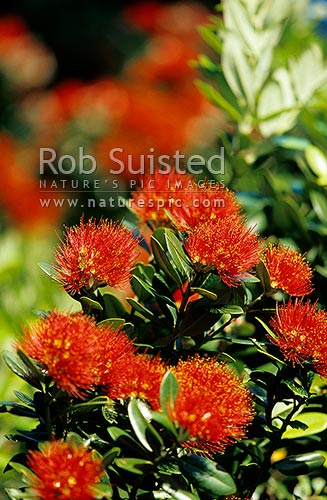 Pohutukawa flowers (Metrosideros excelsa), 'New Zealand Christmas Tree', New Zealand (NZ) stock photo.