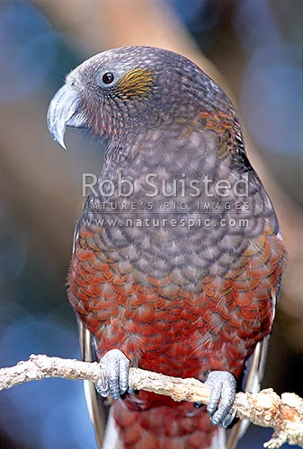 North Is. Kaka (Nestor meridionalis septentrionalis); Little Barrier Island, Little Barrier Island, New Zealand (NZ) stock photo.