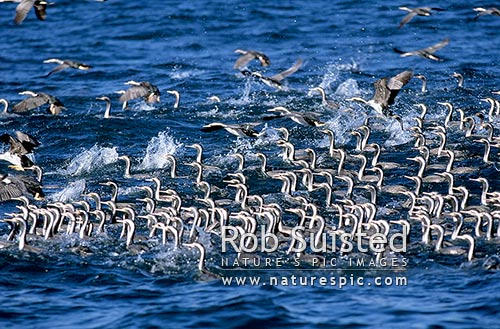 Spotted Shags (Stictocarbo punctatus) in mass group on water, Banks Peninsula, New Zealand (NZ) stock photo.