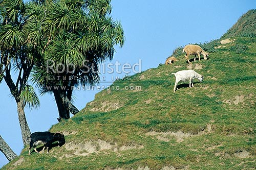 Wild Goats. Feral goats. Capra hircus, Mahia Peninsula, Wairoa District, Hawke's Bay Region, New Zealand (NZ) stock photo.