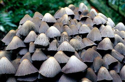 Inkcaps toadstools - (Coprinus atramentarius). A colony of toadstools. Close up, Wellington, Wellington City District, Wellington Region, New Zealand (NZ) stock photo.