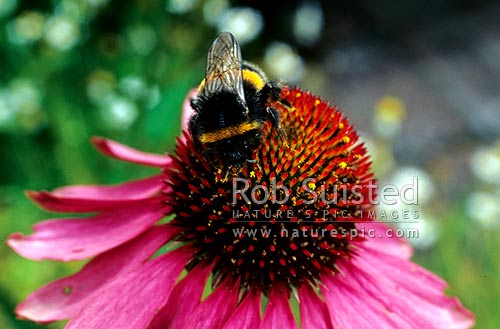 Bumble bee (Bombus sp.) on the medicinal herb Echinacea purpurea. Purple love flower, New Zealand (NZ) stock photo.