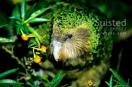 Critically endangered Kakapo (Strigops habroptilus) feeding on Poroporo fruit, 'Trevor', Maud Island, Marlborough Sounds, New Zealand (NZ) stock photo.