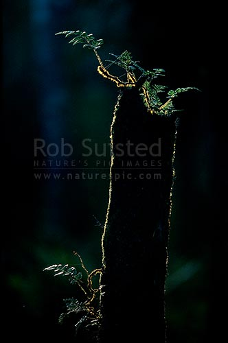 New fern life on an old tree fern stump in the evening forest sunlight, Stewart Island, New Zealand (NZ) stock photo.