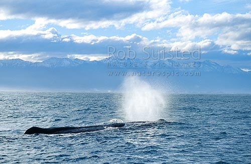 Sperm whale (Physeter macrocephalus) 'blowing' on the surface. Snowy Kaikoura Ranges beyond, Kaikoura, Kaikoura District, Canterbury Region, New Zealand (NZ) stock photo.