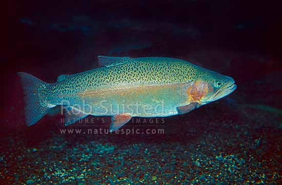Rainbow Trout swimmining, side view, New Zealand (NZ) stock photo.