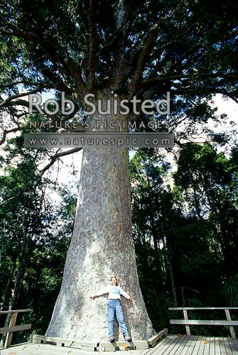 Kauri (Agathis australis) tree at Warkworth. 800y.o./7.8m girth/12.2m to first branch, Warkworth, Rodney District, Auckland Region, New Zealand (NZ) stock photo.