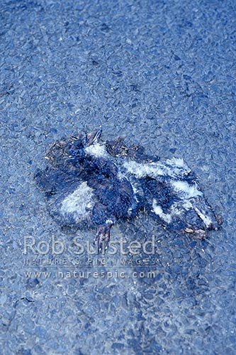 Dead Little blue penguin (Eudyptula minor), hit by car, Wellington, New Zealand (NZ) stock photo.