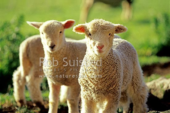 Spring lambs - sheep, Otago Peninsula, New Zealand (NZ) stock photo.