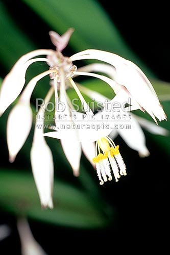 Rengarenga lily flowers (Arthropodium cirratum), New Zealand (NZ) stock photo.