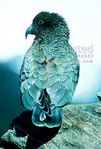 Kea (Nestor notabilis) looking over shoulder, Waitaha River, New Zealand (NZ) stock photo.