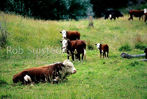 Hereford cattle, bull, cows and calf, New Zealand (NZ) stock photo.