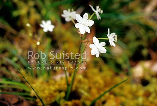 Flowering Star Herb (Libertia pulchella). Native flower, Great Barrier Island, New Zealand (NZ) stock photo.