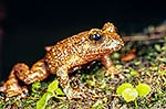 Hochstetter's Frog, NZ native