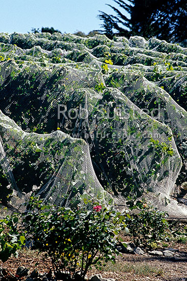 Vines at Te Kairanga vineyard - with bird protection nets, Martinborough, South Wairarapa District, Wellington Region, New Zealand (NZ) stock photo.