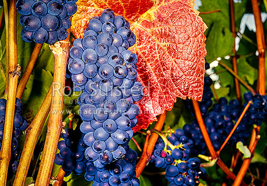 Grapes on vine, Martinborough, South Wairarapa District, Wellington Region, New Zealand (NZ) stock photo.