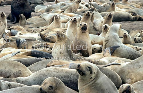 Female New Zealand (Hooker's) Sea lions amongst breeding colony (Phocartos hookeri), Enderby Island, Auckland Islands, NZ Sub Antarctic District, NZ Sub Antarctic Region, New Zealand (NZ) stock photo.