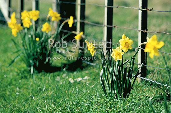 Flowers - Spring daffodils next to farm fence, New Zealand (NZ) stock photo.