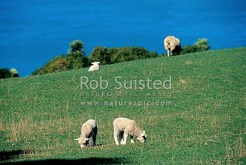Spring lambs and sheep with sea behind (Ovis aries), Akaroa, Banks Peninsula District, Canterbury Region, New Zealand (NZ) stock photo.