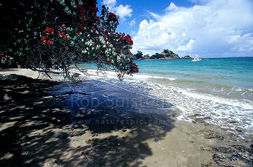 Flowering Pohutukawa trees in Woody Bay, Rakino Island, Hauraki Gulf, Rakino Island, Auckland City District, Auckland Region, New Zealand (NZ) stock photo.