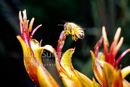 Honey bee (Apis mellifera) pollinating NZ mountain flax (Phormium cookianum) flowers. Note pollen sacs, New Zealand (NZ) stock photo.