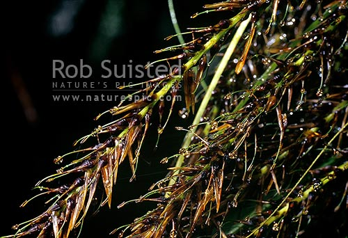 Native hook grass (Uncinia sp.) close up showing hooked seeds for dispersal, Tararua Forest Park, New Zealand (NZ) stock photo.