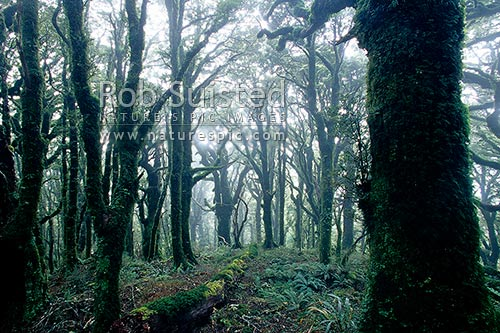 Misty Beech forest interior (Nothofagus spp.) near Mount (Mt) Holdsworth, Tararua Forest Park, New Zealand (NZ) stock photo.