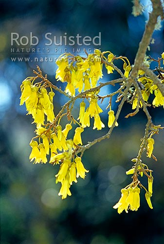Kowhai tree flowers (Sophora sp.), New Zealand (NZ) stock photo.