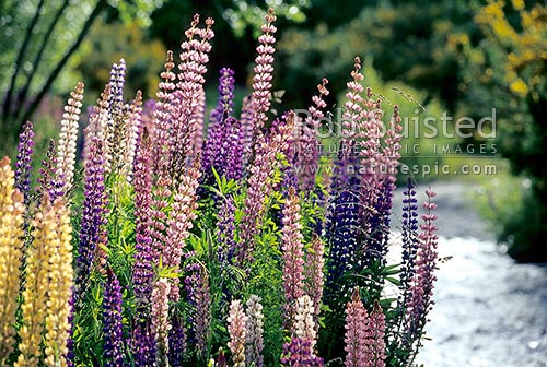 Russell Lupin (Luprinus polyphyllus) - purple - blue flowers. Introduced pest plant to NZ, Otago, New Zealand (NZ) stock photo.
