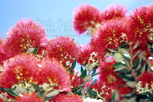 Flowering Pohutukawa tree flowers (Metrosideros excelsa) - NZ Christmas tree, New Zealand (NZ) stock photo.