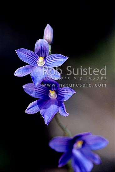 Native Sun orchids (Thelymitra cyanea), Tararua Forest Park, New Zealand (NZ) stock photo.