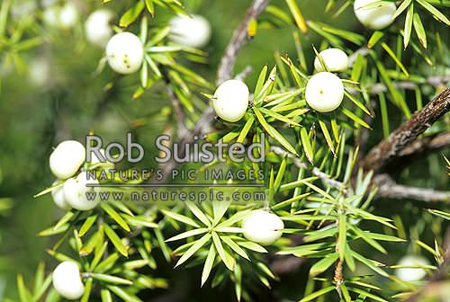 Mingimingi in white berry (Cyathodes juniperina), native, Kauaeranga Valley, New Zealand (NZ) stock photo.