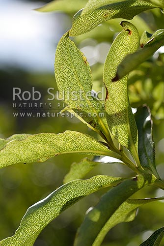 Leaves of Ngaio tree (Myoporum laetum) in the sun, showing leaf structure, New Zealand (NZ) stock photo.