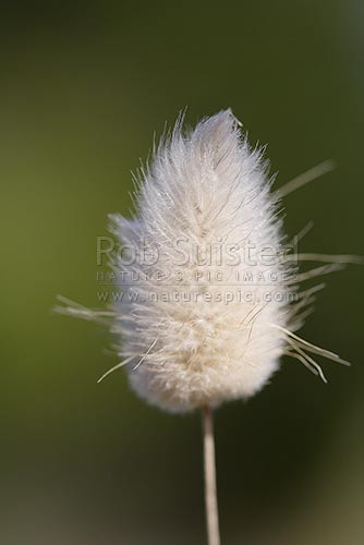 Hares-tail grass seed (Lagurus ovatus), introduced grass, Kaikoura, New Zealand (NZ) stock photo.
