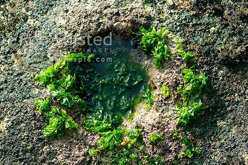Green algae seaweed Ulva sp. (Sea lettuce) on rocky shore, Stewart Island, New Zealand (NZ) stock photo.