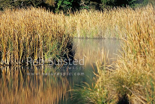 Native Raupo or Bulrush (Typha orientalis) reflected in mirror calm wetland pond, Tokaanu, New Zealand (NZ) stock photo.