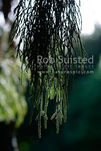 Rimu tree foliage (Dacrydium cupressinum) in sunlight, New Zealand (NZ) stock photo.