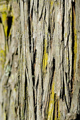 Totara tree bark (Podocarpus totara) with yellow lichen, New Zealand (NZ) stock photo.