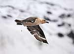 Skua bird flying, Antarctic
