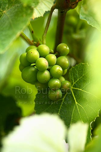 Young grapes on vine - Vitis sp. (Vitaceae), New Zealand (NZ) stock photo.