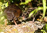 Weka and chick