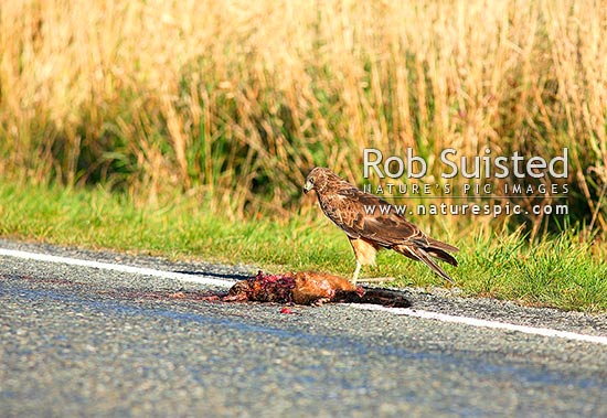 Australian harrier hawk (Circus approxmans) eating road killed possum (Trichosurus vulpecula), Swamp Harrier, Kahu, New Zealand (NZ) stock photo.