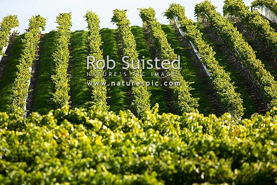 Grapevines and vineyard in Hawkes Bay, Napier, Napier City District, Hawke's Bay Region, New Zealand (NZ) stock photo.