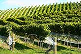 Grape vines on hill, Hawkes Bay